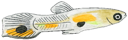 A male guppy, less colorful.