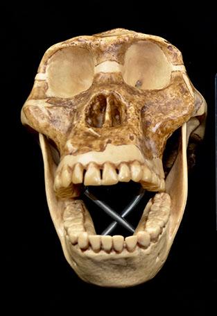 hominid2